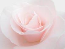 Nam roze toe Royalty-vrije Stock Foto
