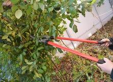 Nam snoeiend in de recente herfst toe Prune Climbing Roses Stock Fotografie