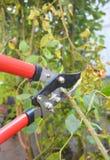 Nam snoeiend in de recente herfst toe Prune Climbing Roses Hoe te snoeien Royalty-vrije Stock Foto