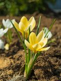 Nam toe en kwam de eerste de lente gele krokussen tot bloei stock foto's