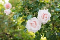 Nam toenam bloei in de tuin toe royalty-vrije stock afbeeldingen