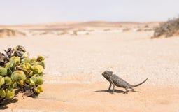Namaqua变色蜥蜴,斯瓦科普蒙德,纳米比亚 免版税库存照片