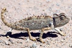 Namaqua变色蜥蜴 免版税库存图片