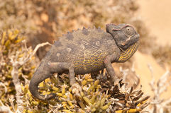 Namaqua chameleon. Slow moving, cold-blooded, insectivorous, catch prey by stealth Royalty Free Stock Images