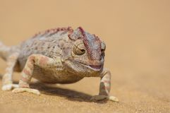Namaqua chameleon, Chamaeleo namaquensis in the namib desert. Namaqua chameleon, Chamaeleo namaquensis walking around in the namib desert. Picture was taken just royalty free stock photo