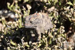 Namaqua Chameleon Stock Photography
