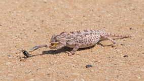 Namaqua Chameleon feeding , Swakopmund, Namibia Royalty Free Stock Photos