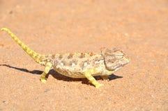 Namaqua Chameleon Royalty Free Stock Image