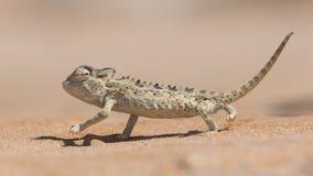 Namaqua Chameleon, Swakopmund, Namibia. Desert adapted Namaqua Chameleon Chamaeleo namaquensis  in the Dorob National Park near Swakopmund, Namibia Stock Photography