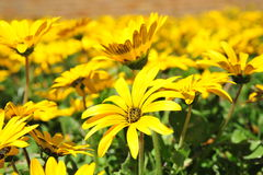 Namaqua Daisies. Yello Namaqua Daisies dot the South African countryside of the Western Cape Province after the first winter rain fall Stock Photos