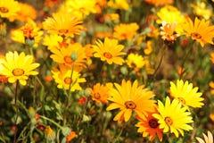 Namaqua Daisies2 Foto de archivo libre de regalías