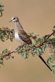 Namaqua dove Stock Photo