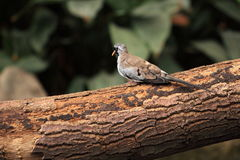 Namaqua dove Stock Photography