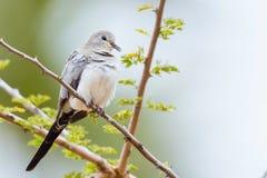 Namaqua Dove - Female Royalty Free Stock Images
