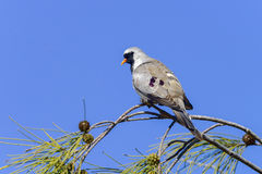 Namaqua dove, ifaty. Namaqua dove watching from the tree, ifaty, madagascar Stock Photo