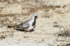 Namaqua dove, ifaty Royalty Free Stock Photos