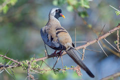 Namaqua Dove, Male. A male Namaqua Dove, perched on a prickly branch of Acacia in Kenya's Meru National Park Stock Photography