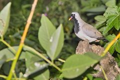 Namaqua Dove (Oena capensis) Royalty Free Stock Photography