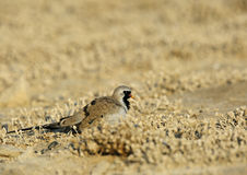 Namaqua Dove Royalty Free Stock Image