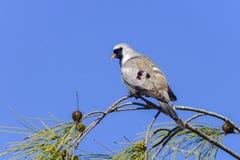 Namaqua duva som är ifaty Arkivfoto