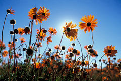 Namaqua flowers Stock Image