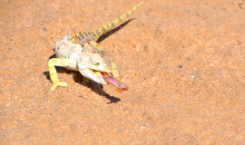 Namaqua kameleont Arkivfoto