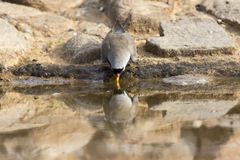 Namaqua mergulhou homem que senta-se em rochas na água potável da natureza Imagens de Stock