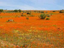 Southern african landscapes. Namaqua National Park in South Africa Stock Photos
