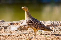 Namaqua Sandgrouse Stock Photography