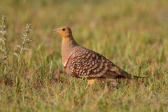 Namaqua sandgrouse Royalty Free Stock Image