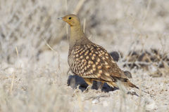 Namaqua sandgrouse Stock Photo
