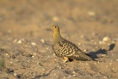 Namaqua Sandgrouse Fotografia Stock