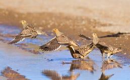 Namaqua sandgrouse drinking water Royalty Free Stock Images
