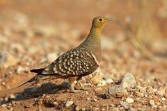 Namaqua sandgrouse, Kalahari desert Royalty Free Stock Image