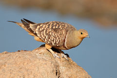 Namaqua sandgrouse Royalty Free Stock Photo