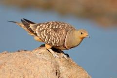 Namaqua-Sandhuhn Lizenzfreies Stockfoto