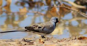 Namaquae Dove - African Gamebird Stock Image