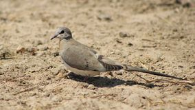 Namaquae Dove, Female - African Gamebird Royalty Free Stock Photography