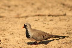 Namaquae Dove - Small and Swift Stock Photo
