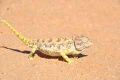 Namaquakameleon Royalty-vrije Stock Afbeelding