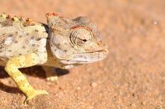 Namaquakameleon Royalty-vrije Stock Fotografie