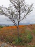 Namaqualand雏菊在南部非洲的干旱台地高原国家公园 免版税图库摄影
