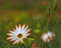 Namaqualand雏菊,南非。 库存图片