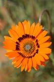 Namaqualand Daisie Royaltyfria Foton