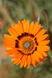 Namaqualand Daisie. Description of African daisy: The native species has pearly white flowers centered with steel-blue and encircled with a narrow, yellow band Royalty Free Stock Photos