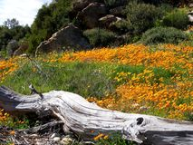 Namaqualand daisies Stock Photo