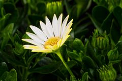 Namaqualand Daisy Stock Photos