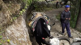 Tourists, porters and yaks on the trail in the Himalayas. NAMCHE, NEPAL - OKTOBER 22, 2017: Tourists, porters and yaks are moving along the path leading to the stock footage