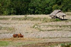 Namdinh, vacas de Vietname no campo Fotografia de Stock