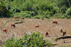 Namdinh, vacas de Vietname no campo Foto de Stock Royalty Free